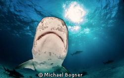 Tigershark Smiley by Michael Bogner 
